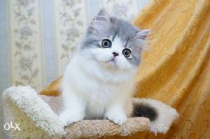 Very pretty persian kittens available in jalandhar