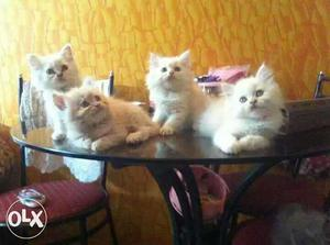 White gold and grey teddy and more beautiful color Persian