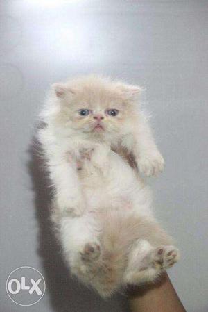 Good fur quality Persian kitten for sale in delhi