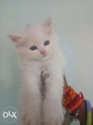 Very cute persian kitten for sale in Noida