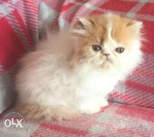 Cash on delivery very cute persian kitten for sale in patna
