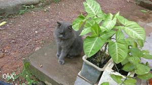 Good quality Male perssian cat. good owners required