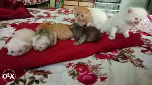 Long Furred Kitten,all colors r available