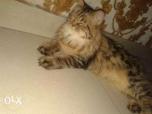Male and female cat pure persian for sale