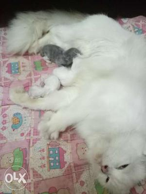 Persian kitten for sale in chrompet.Just born