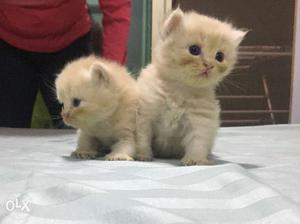 Pure Persian kittens. Born on 27th September