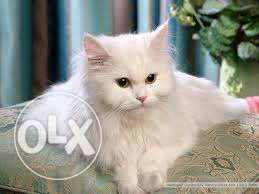 Very So very beautiful person kitten for sale in firozpur