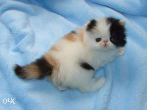 Very So very beautiful person kitten for sale in patiala
