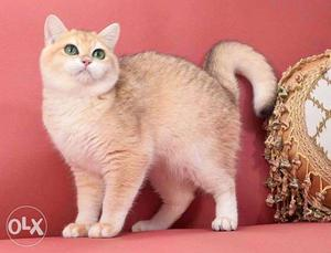 Very cheap price persian kitten for sale in noida