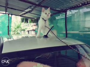 White Cat In Kollam