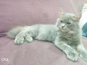 White and gery- white Persian male cat available for sale 5