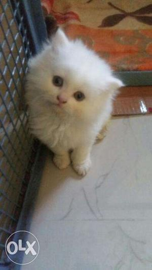 White color persian kitten for sale in gurgaon