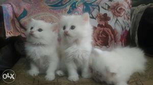2 Persian male and female cat