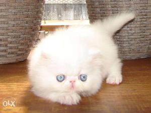 Beautiful Persian kittens & cats Sale all Place for sale in