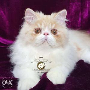 Creme and White Male Persian Kitten available in Pune