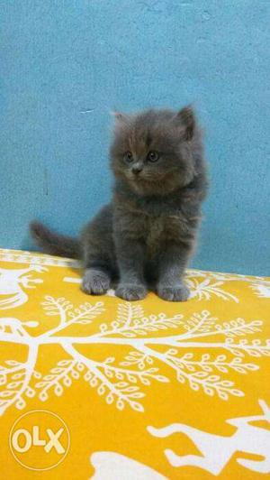 Gray color kitten available for sale in faridabad