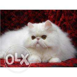 I have persorian cat available for all over india free