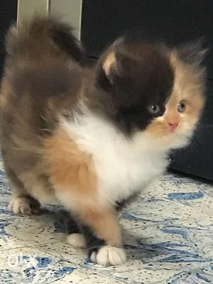 Long-fur Tricolor Kitten