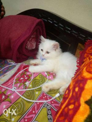 Need to sell urgent Persian cat 2 months age,,