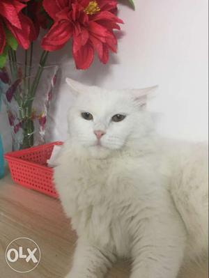 Persian Cat female 1 year old and a male cat 1.6