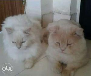 Persian cat male and Female, white female with