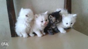 Persian kittens available in mumbai in all