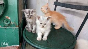 Pure persion Kittens available good fur quality