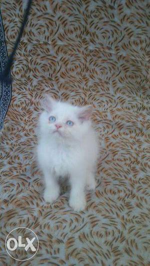 So nice very beautiful persian kitten for sale in