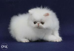 Very So very beautiful persion kitten for sale in indore