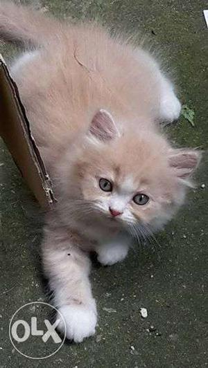 Very cheap price kitten avalible for sale in noida
