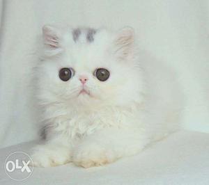 Very cute persian kitten for sale in all