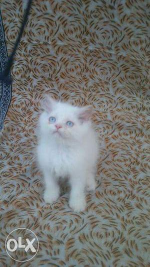 Very cute persian kitten for sale in faridabad
