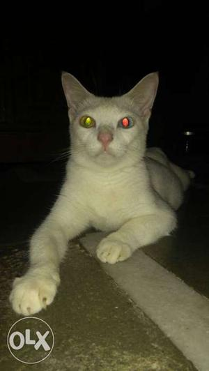 White Female Cat.Maybe 1½ Year Old.Full White