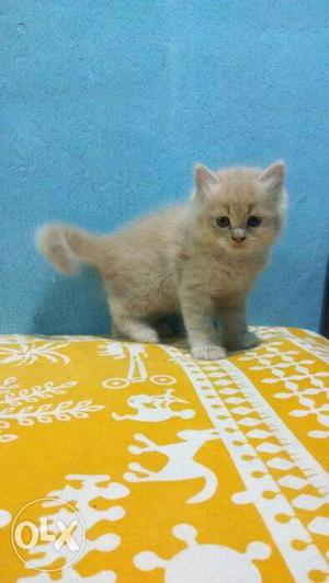 White color Persian kitten for sale in noida