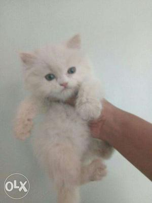 All color persian kitten for sale in all