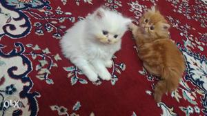 Best quality Persian cats in reasonable