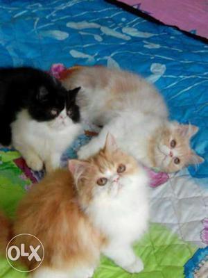 Black, White And Orange Tabby Kittens
