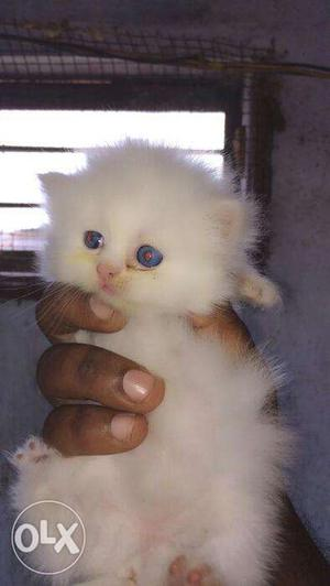 Blue eyes color so cute Persian kitten for sale
