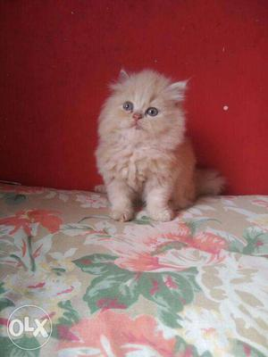 Brown color pure persian kitten for sale in noida