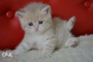 Cash on delivery pure persian kitten for sale in noida