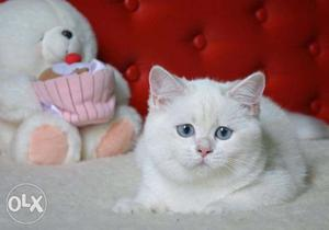 Cash on delivery very active persian kitten for sale in