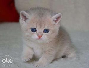 Cash on delivery very cute persian kitten for sale in noida