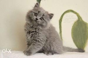 Persian kitten avalible for sale in faridabad