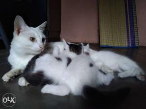 Short-fur White And Black Cat With Kittens