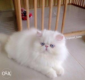 Very cheap price very cute persian kitten for sale in