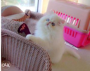 Very cute persian kitten for sale in ghaziabad