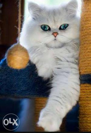 Wanted a male Persian cat for mating urgent
