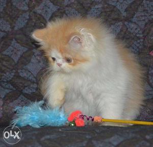 White color blue eyes kitten for sale in faridabad