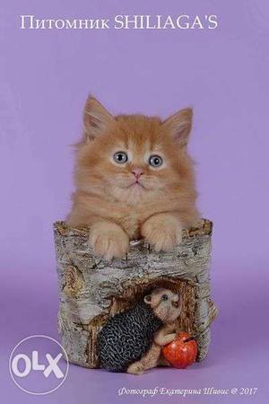 Cash on delivery very cute persian kitten for sale in delhi