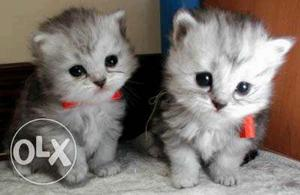 Cute and adorable Persian kittens